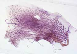 The Anatomy and Histology of the Normal Mouse Mammary