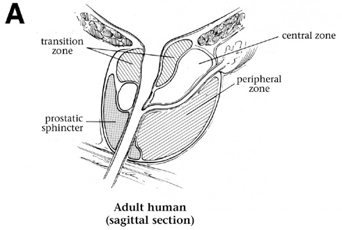 Comparative Anatomy - Prostate