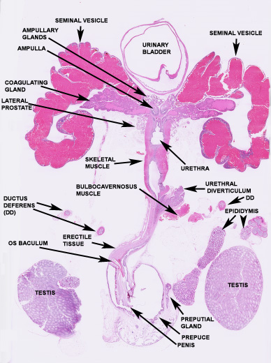 Mouse prostate anatomy